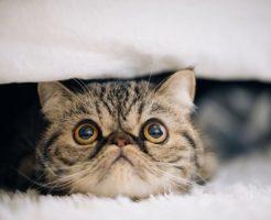 エキゾチックな猫ちゃん